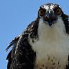 Osprey-f6835