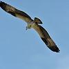 Osprey Jekyll Island 07-19-19