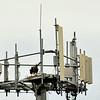 Dead Osprey on Jekyll Island Celll Tower 09-13-19