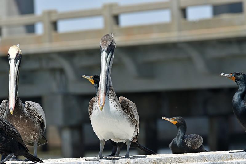 Brown Pelicans 04-08-19