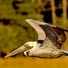 Brown Pelican at Jekyll Island, Georgia 12-06-10