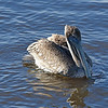 Pete - Brown Pelican 12-12-18
