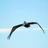 Brown Pelican flying over Jekyll Creek at Jekyll Island, Georgia on the ICW