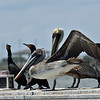 Brown Pelicans 04-08-19