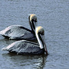 Two Pelicans in Water in Jekyll Creek at Jekyll Island, Georgia
