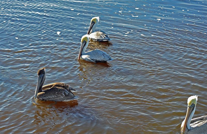 Brown Pelicans 12-12-18