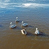 Brown Pelicans 12-12-18