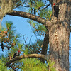Pileated Woodpecker at 309RR 07-13-16