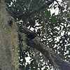 Pileated Woodpecker attacking dead limb at 309RR 07-23-18