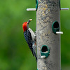 Red Bellied Woodpecker at feeder in Crooked River State Park at Bird Blind near St. Mary's, Georgia