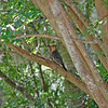 Red Bellied Woodpecker at 309 RR Brunswick, Georgia 06-18-12