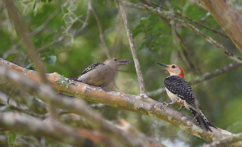 Red-Bellied Woodpecker feeding her now flying youngster 07-23-18