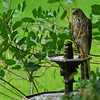 Red Tailed Hawk or Broad-winged Hawk on fountain at 309 RR in Brunswick, Georgia - Glynn County 06-21-11