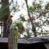 Unknown Brown Hawk on Farm Shed Roof