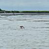 Roseate Spoonbill at Jekyll Wharf around dredge pipe  06-19-19