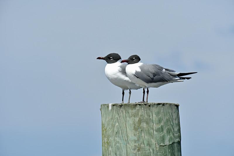 Love Bird Laughing Gulls at Jekyll Wharf 03-15-20