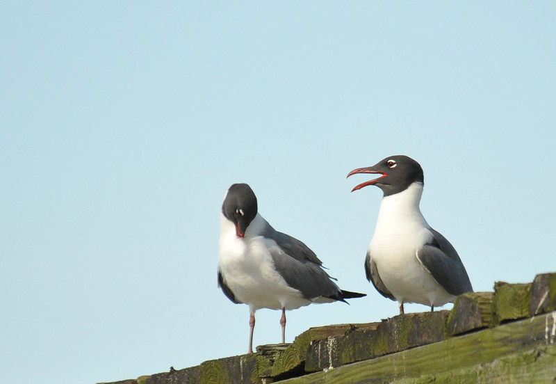 Laughing Gulls on Bridge