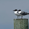 Love Bird Laughing Gulls at Jekyll Wharf 03-15-20