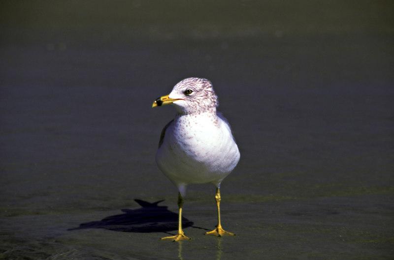 Seagull Poising 2 on St. Simons Island, Georgia
