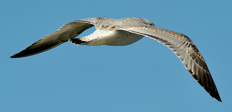 Sea Gull 11-18-10