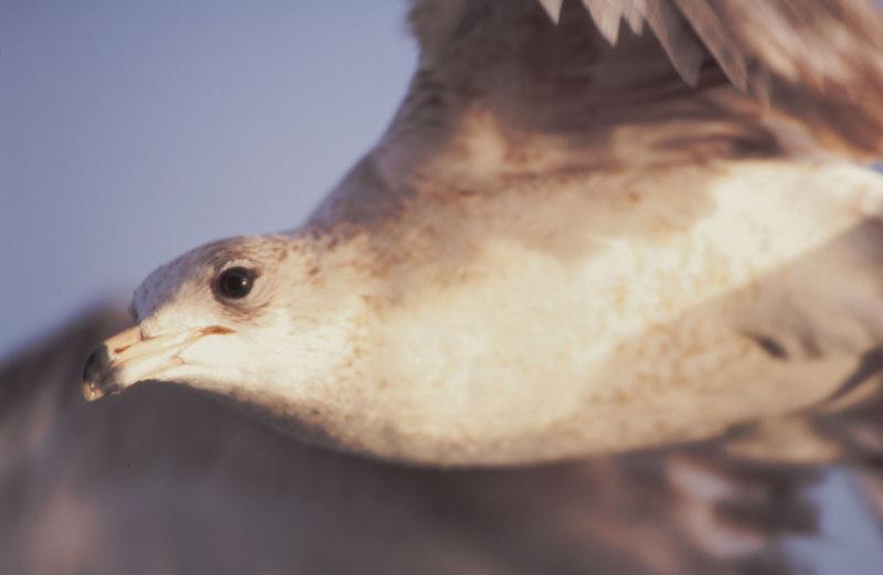 Seagull on Jekyll Island, Georgia - Used for Manipulated Images