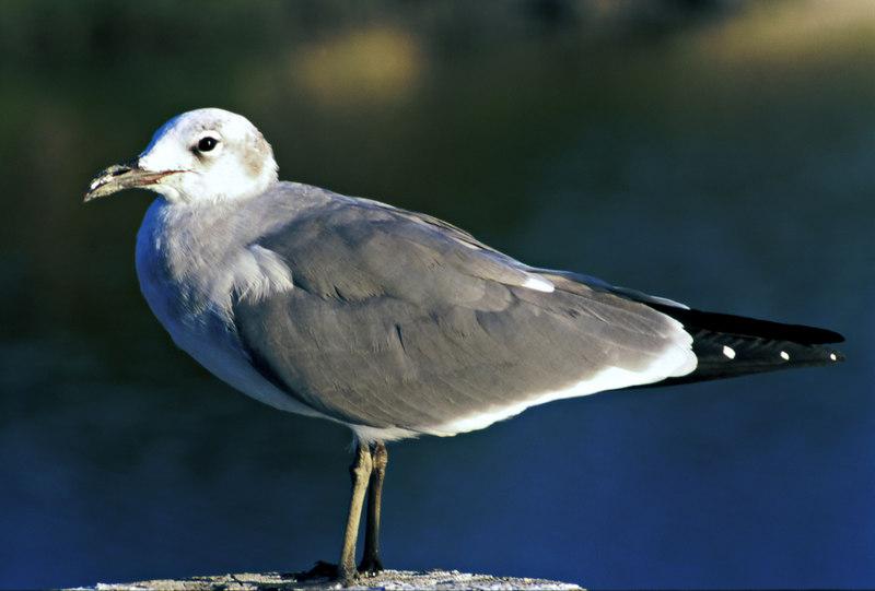 Seagull Poising on St. Simons Island, Georgia