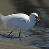 Rocky - Snowy Egret - Jekyll Wharf 04-04-19