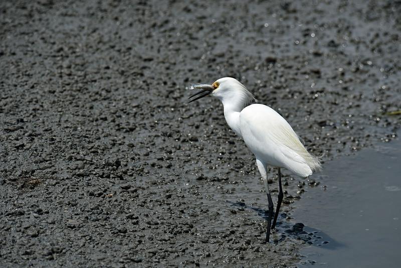 Rocky - Snowy Egret - Jekyll Wharf 05-16-19