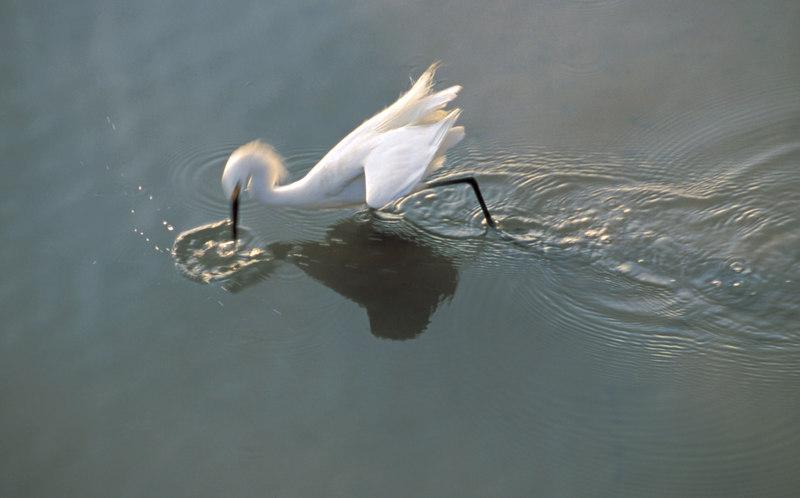 Snowy Egret in Mid Strike in Jekyll Creek, Jekyll Island, Georgia
