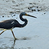 Tri-Colored Heron at Jekyll Wharf 06-16-19