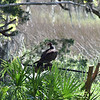 Turkey Vulture at 309RR 04-16-19