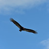 Turkey Vulture at 309RR 04-20-19