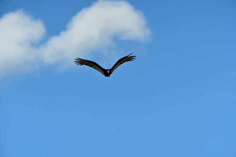 Turkey Vulture at 309RR 04-20-19