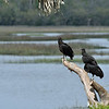 309RR Vultures looking for a snack 03-24-20