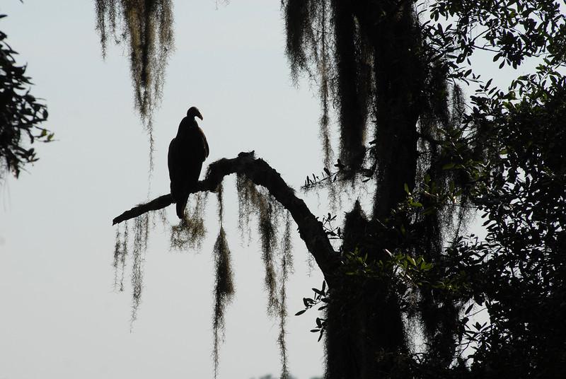 Turkey Vulture 309RR 06-17-12