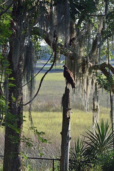 Turkey Vulture at 309RR 05-22-19