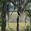 Turkey Vulture at 309RR 05-22-19