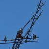 Hawks in Downtown Brunswick, GA 07-10-18
