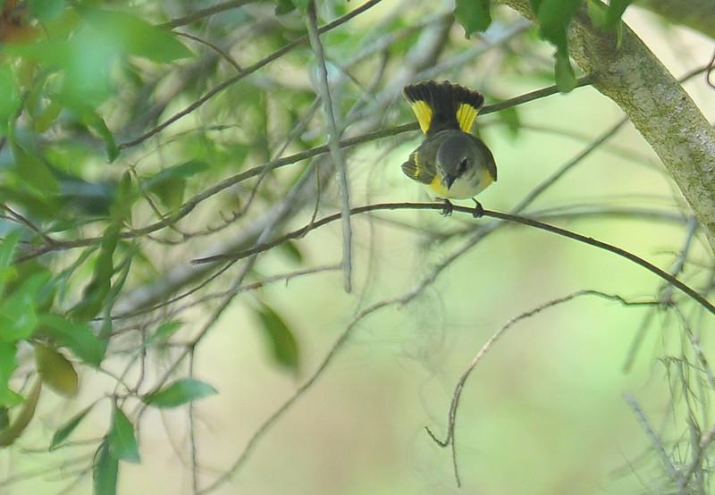 Female American Redstart  05-01-10
