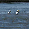 White Pelicans in Jekyll Creek 03-04-19