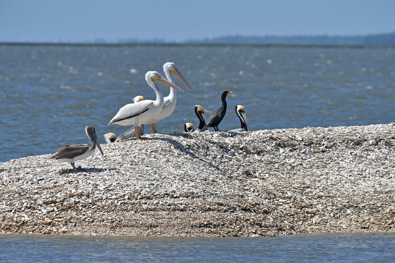 White Pelicans on Jekyll Island Boat Tours Trip 04-05-18
