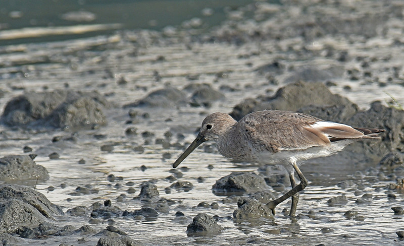Willet at Jekyll Wharf 04-07-18