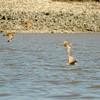 Wimbrels Flying along Marsh Edge on the Intracoastal Waterway (ICW) near Brunswick, Georgia