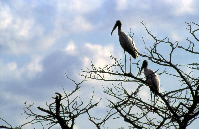 Two Woodstorks in Tree on Jekyll Island Causeway, Georgia - Horizontal