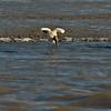Woodstork in Jekyll Creek, Georgia 12-06-10