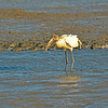 Woodstork in Jekyll Creek, Georgia 12-06-10