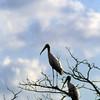 Two Woodstorks in Tree on Jekyll Island Causeway, Georgia - Vertical