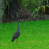 White Crested Night Heron at RR 06-27-11