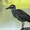 Night Heron at 309 River