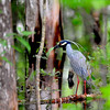 Black Crowned Night Heron inside Tree Preserve off GA341 near Brunswick,  Georgia 04-25-09